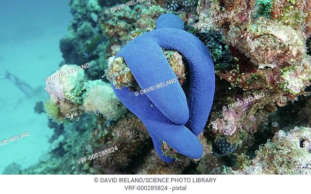 Blue sea star (Linckia laevigata) clinging to coral. Filmed on the Great Barrier Reef in the Coral Sea off the coast of Queensland, Australia