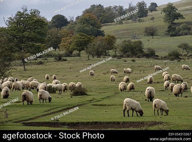 ovejas pastando en las campas, Parque Megalítico de Legaire, campas de Legaire , Ã. lava, Pais Vasco, Spain