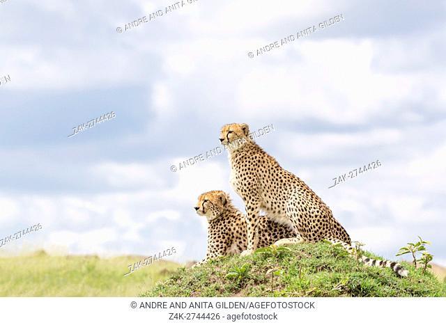 Two Cheetah (Acinonix jubatus) sitting together on hill looking over savanna, Maasai Mara National Reserve, Kenya