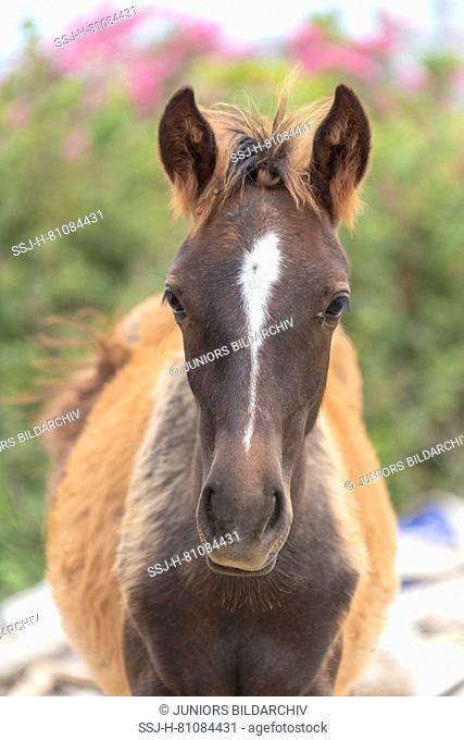 Rahvan Horse. Portrait of chestnut foal. Turkey