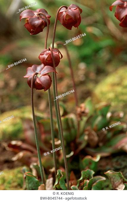 northern pitcher plant (Sarracenia purpurea), complete plants