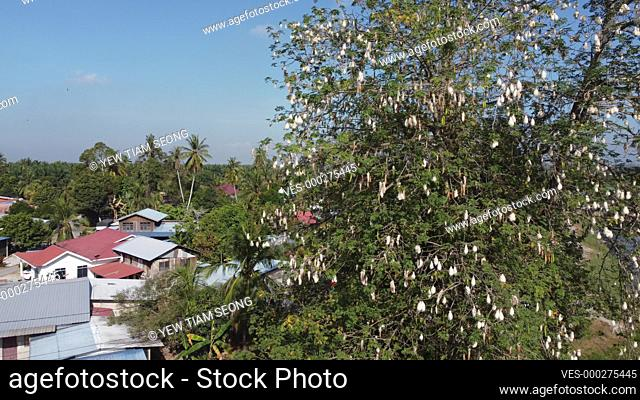Kapok tree with full of cotton fruit in Malaysia village