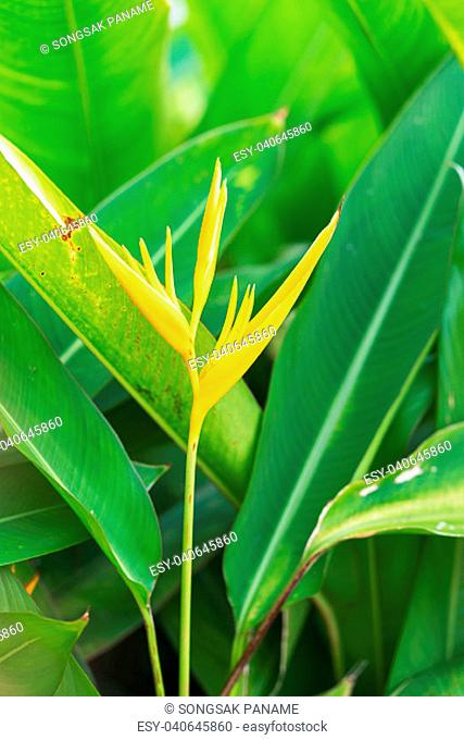 Bird of paradise flower or Strelitzia reginae flowers in the garden