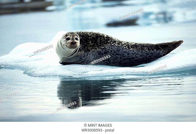 Grey seal (Halichoerus grypus) lying on an ice floe in Arctic waters