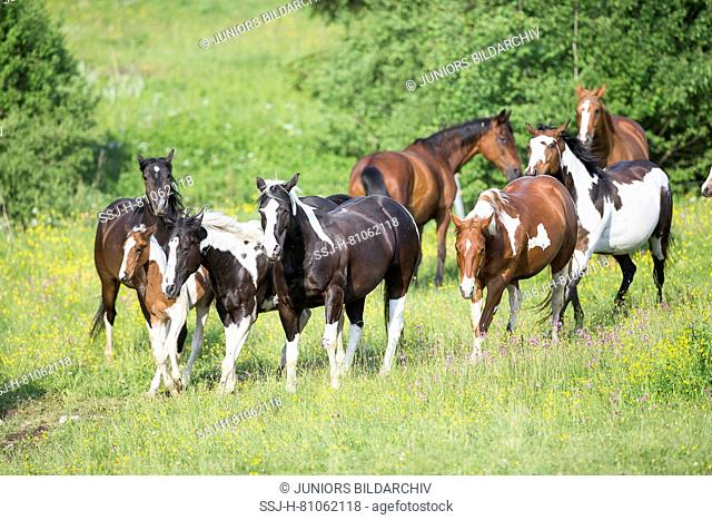 American Paint Horse. Mares with foals walking on a pasture. Austria