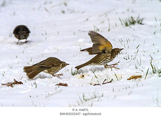 song thrush (Turdus philomelos), disputing on snow covered lawn, Germany, Bavaria