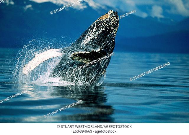 Breaching humpback whale. Inside Passage S.E. Alaska. USA
