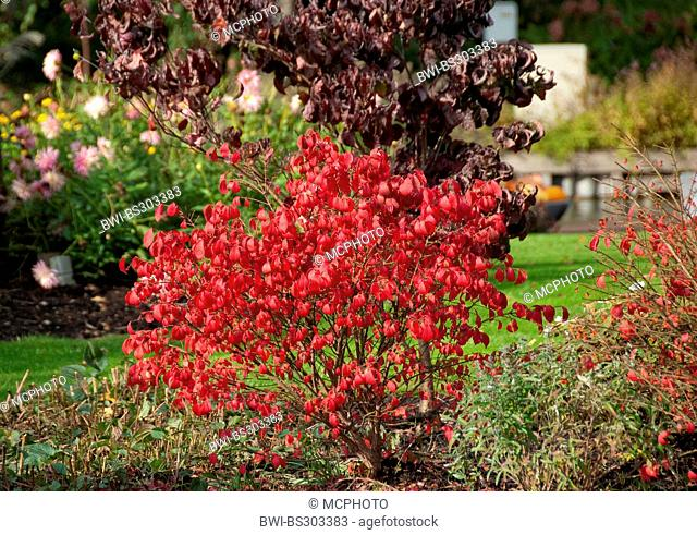 winged burning bush,wahoo, winged euonymus, winged spindle-tree (Euonymus alatus 'Compactus', Euonymus alatus Compactus), cultivar Compactus in autumn