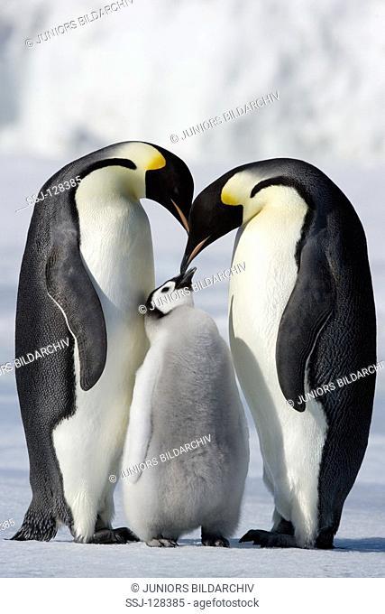 emperor penguins with cub - Aptenodytes forsteri
