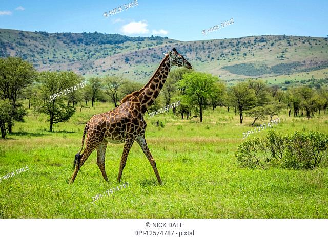 Masai giraffe (Giraffa camelopardalis tippelskirchii) walks through savannah in sunshine, Klein's Camp, Serengeti National Park; Kenya