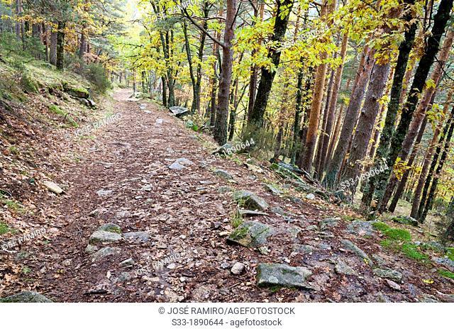 Spain, Madrid, Canencia, Sierra de Guadarrama, Track among birch trees