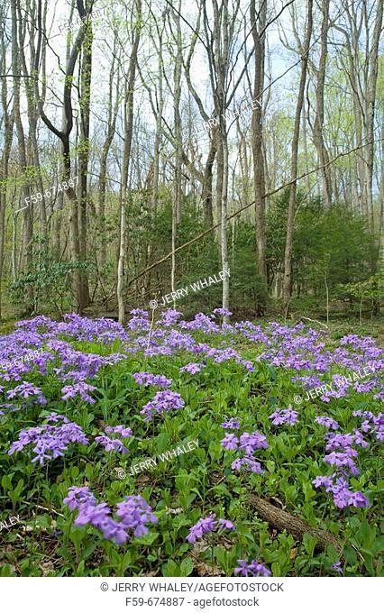 Phlox, Spring Wildflowers, Great Smoky Mtns Nat  Park, TN, USA