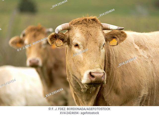 Cow in Burguete pastureland, Navarre, Spain