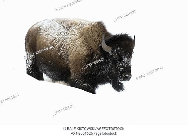 American bison ( Bison bison ), adult, walking through high snow, Yellowstone National Park, Wyoming, USA