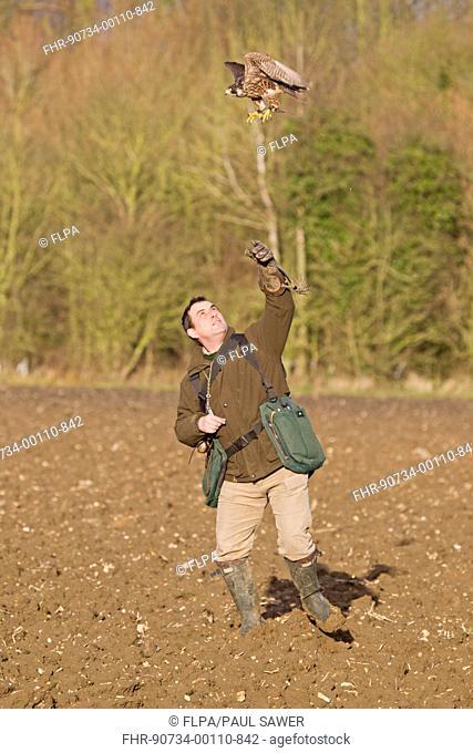 Falconry, falconer releasing Peregrine Falcon Falco peregrinus juvenile, to hunt game, England, january