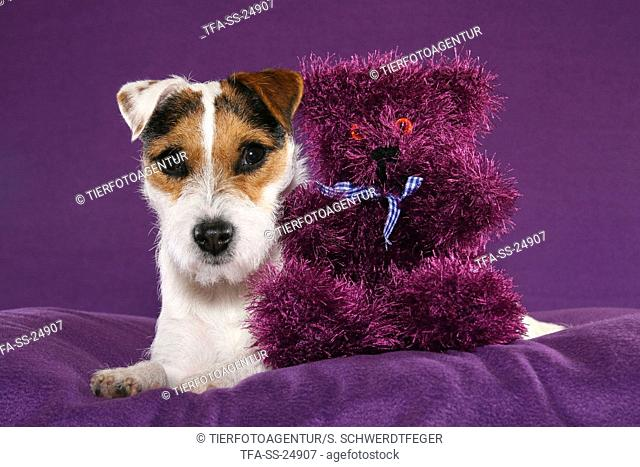Parson Russell Terrier with teddy