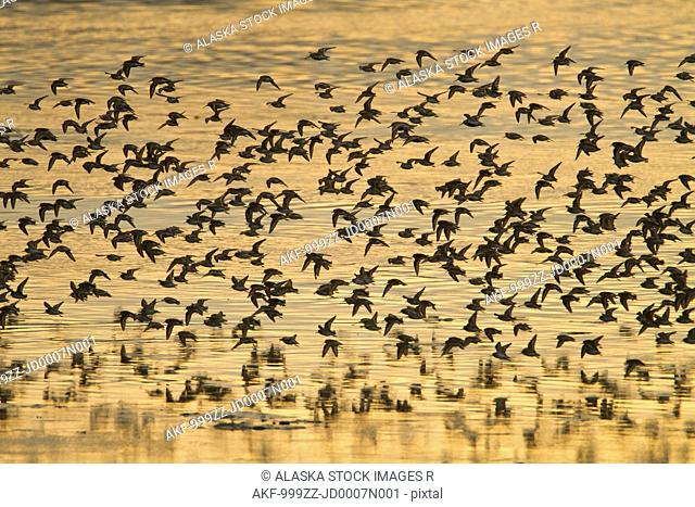 Shorebird flock at sunset during Homer Shorebird Festival, Kenai Peninsula, Southcentral Alaska, Spring