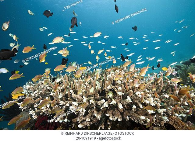 Lyretail Anthias over Reef, Pseudanthias cheirospilos, Raja Ampat, West Papua, Indonesia