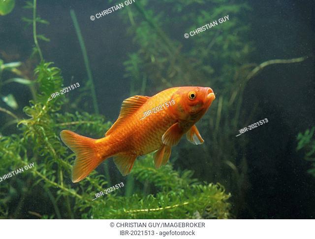 Goldfish (Carassius auratus auratus)