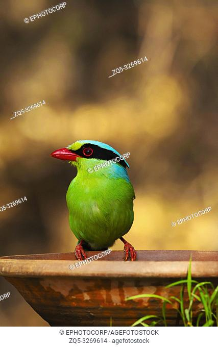 Common green magpie, Cissa chinensis, Sattal, Nainital Uttarakhand, India