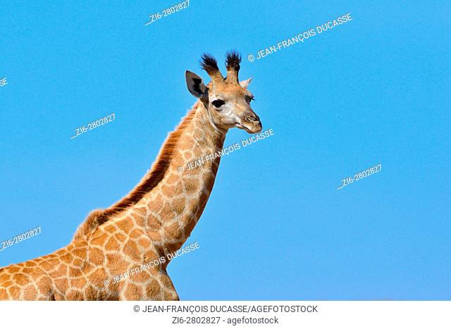 South African giraffe or Cape giraffe (Giraffa giraffa giraffa), young, under a blue sky, Kruger National Park, South Africa, Africa