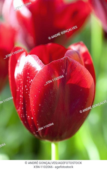 Red Tulip, Netherlands