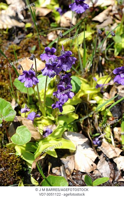 Common butterwort (Pinguicula vulgaris) is a carnivorous plant native to Europe and North America. This photo was taken in Valle de Aran, Lleida Pyrinees