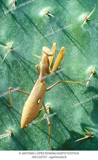 Praying Mantis (Mantis religiosa) on Pricky Pear (Opuntia maxima)
