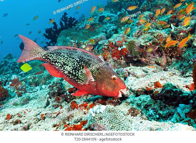 Redlip Parrotfish, Scarus rubroviolaceus, North Male Atoll, Maldives