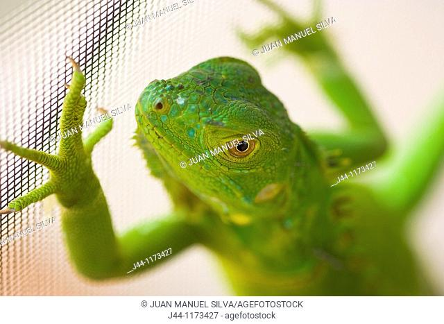 Young green iguana on house metal screen, Weston, Florida, USA