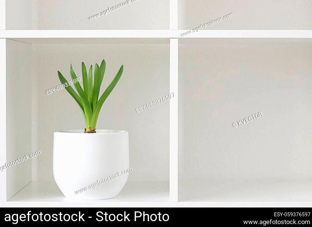 Hyacinth plant in a white pot. Flower on a rack. Interior background