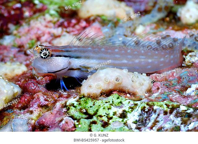 combtooth blenny (Ecsenius dentex), at coral reef, Egypt, Red Sea
