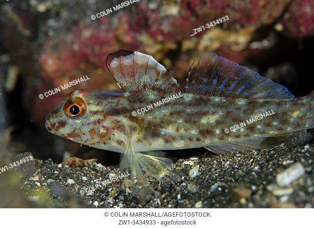 Signalfin Goby (Fusigobius signipinnis, Gobiidae Family) with erect fins on sand, Liberty Wreck dive site, Tulamben, Kubu district, Karangasem, Bali, Indonesia
