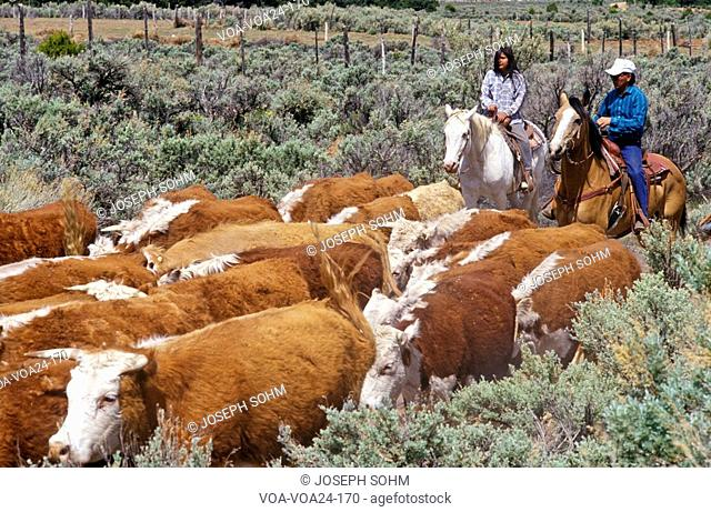 Navajo cowboys herding cattle on cattle drive, , AZ