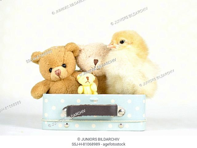 Domestic chicken, Brahma. Chick (1 day old) and three Teddy bears in a little suitcase. Studio picture. Germany