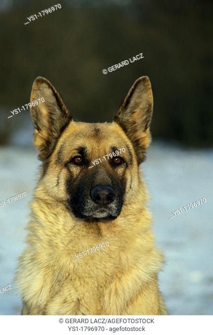 German Shepherd Dog, Portrait of Adult