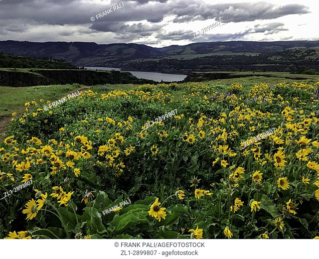 Columbia River Gorge, Oregon, USA; Balsamroot and Lupine wildflowers
