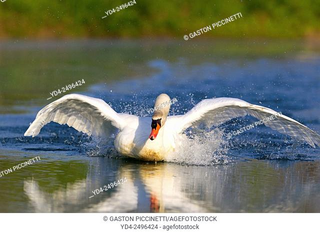 Mute swan (Cygnus olor), flying in the pond, Rising Sun, Indiana, USA