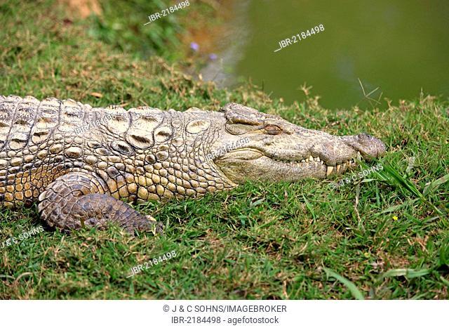 Malagasy Nile crocodile (Crocodylus niloticus madagascariensis), lying dormant, Nosy Be, Madagascar, Africa