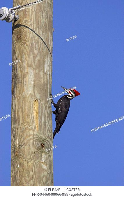 Pileated Woodpecker Dryocopus pileatus adult male, causing damage to utility pole, Lake Kissimmee, Florida, U S A