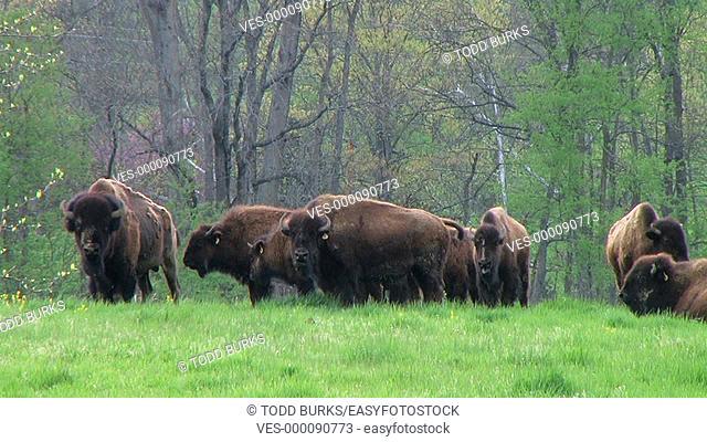 Herd of American buffalo grazing in pasture