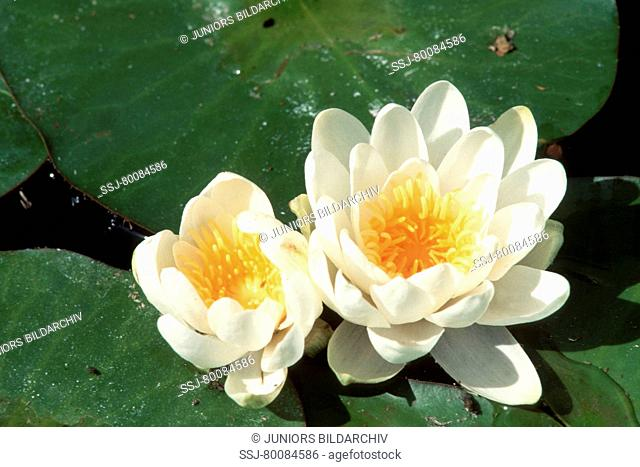 DEU, 2002: White Water Lily (Nymphaea alba), flowers