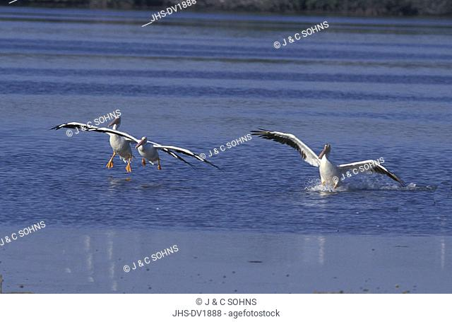 American White Pelican Pelecanus erythrorhynchos Ding Darling Reserve Sanibel Island Florida USA