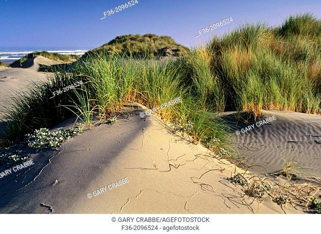 Sand Dunes and coastal grasses at Mad River Beach, Arcata, Humboldt County, CALIFORNIA