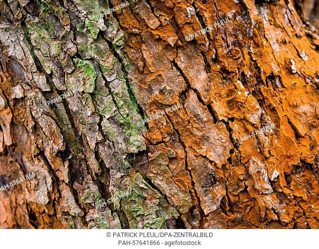 The green algea grows on a rust-coloured tree bark in a garden in Sieversdorf, Germany, 30 March 2015. For ten years the trees in the local region are...