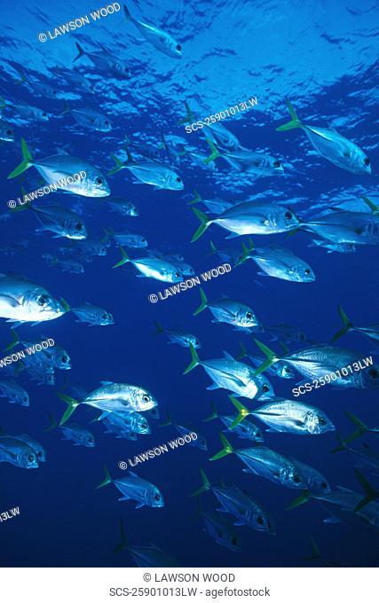 Horse Eye Jacks Caranx latus, large school of fish, Cayman Islands, Caribbean