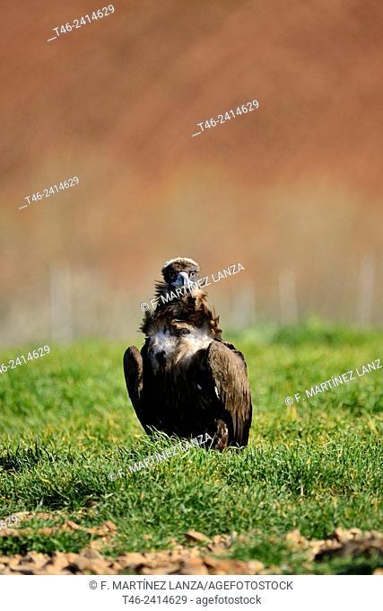Black vulture (Gyps fulvus) on a dunghill in Campo de San Pedro, Segovia province, Castilla-Leon. Spain