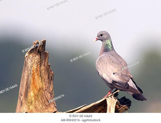 Stock Dove, Columba oenas