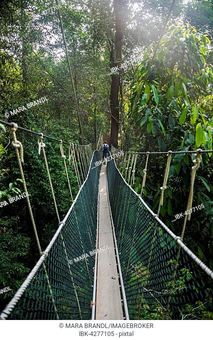 Young male tourist on a suspension bridge in the jungle Canopy Walkway Kuala Tahan & Canopy walk in the Taman Negarau0027s rainforest Malaysia Stock ...