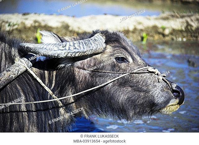 Asia, China, water-buffalos, Bubalus, useful-animal, rice-terraces